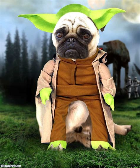 yoda pug costume pugs in costumes yoda