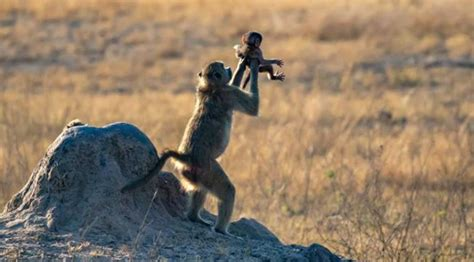 photographer captures  lion kings circle  life scene  real life