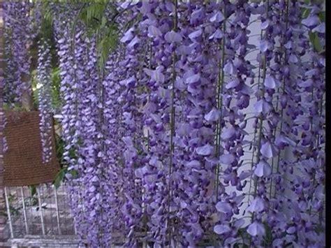 perchè il glicine non fiorisce glicine fioritura ricanti approfondimento sulla