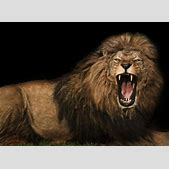 barbary lion on...