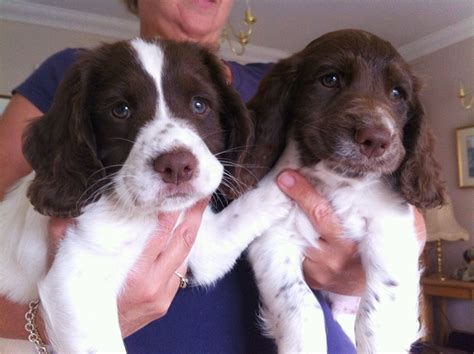springer spaniel puppies for sale in pa springer spaniel puppies for sale