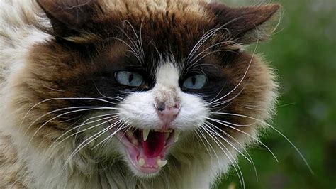angry cat sounds  pictures youtube