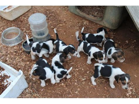 free husky puppies near me puppies for sale near me free puppies puppies for adoption autos post
