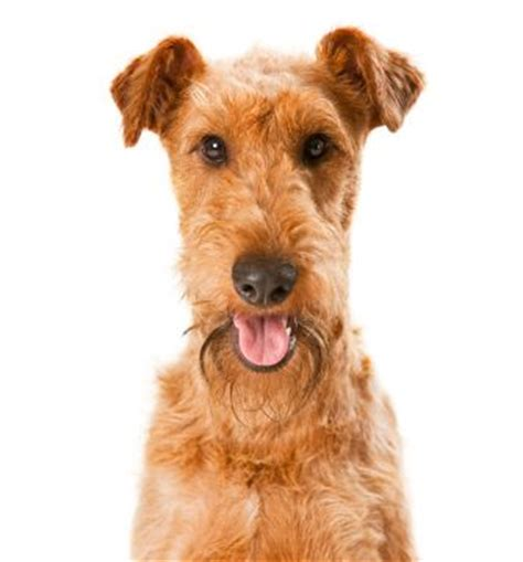 winter airedale haircut 17 best images about terriers on pinterest the seagull