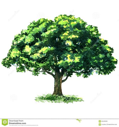 white or green tree green tree oak isolated on white background stock