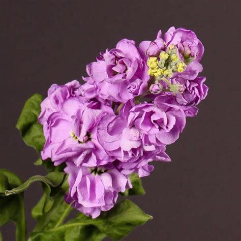 Rosas De Jardin #6: Cuales-son-las-flores-de-invierno-mathiola-600x600.jpg