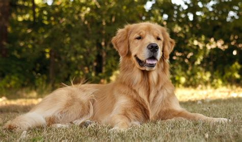8 year golden retriever golden retriever