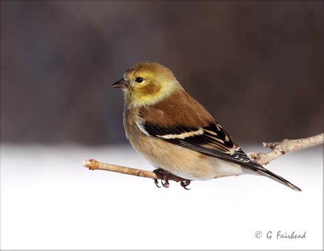 winter colors on american goldfinch photo gary fairhead