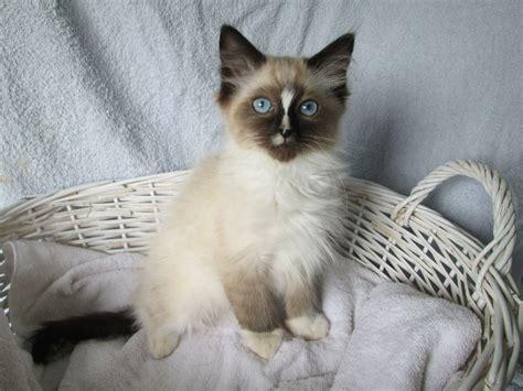 3 year ragdoll cats one ragdoll kitten pewsey wiltshire pets4homes