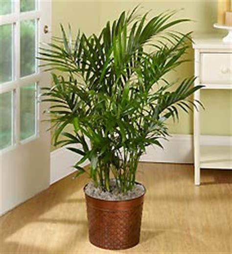 large houseplants large house plants tall house plants
