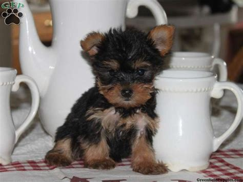 yorkies for sale pa 9 best own a tea cup yorkie images on yorkies baby puppies and cup of tea