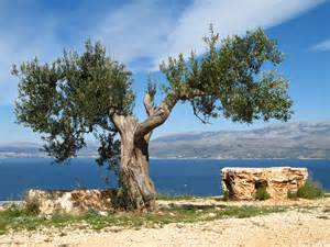 Olive Tree by Olives And Olive Trees 365 Reasons For Against Moving To