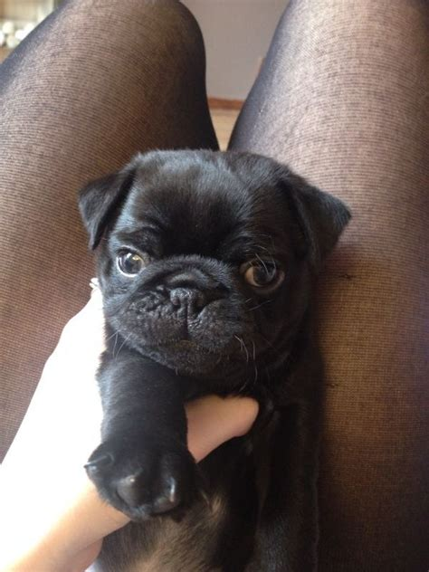 pugs for sale derby non kc pug puppies for sale ready 9th of aug derby derbyshire pets4homes