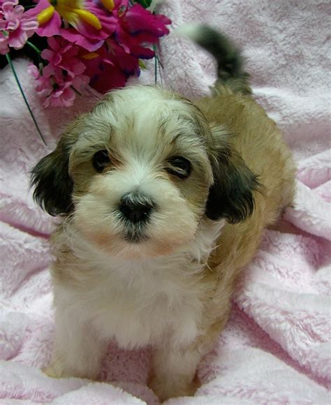 cuban havanese puppies 14 best havanese images on baby puppies havanese dogs and havanese puppies
