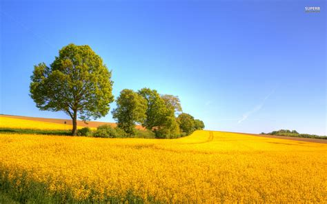 Yellow Landscape Pictures Yellow Rapeseed Field Wallpapers Yellow Rapeseed Field
