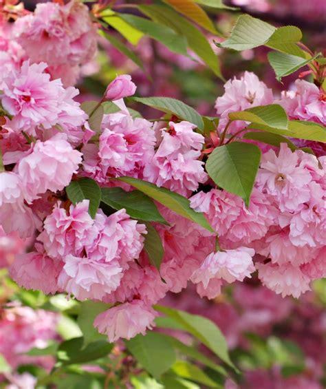 kwanzan japanese flowering cherry