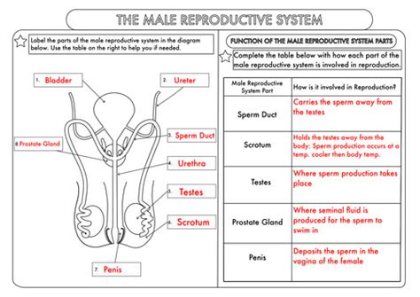 Anatomy And Physiology Reproductive System Worksheet Key