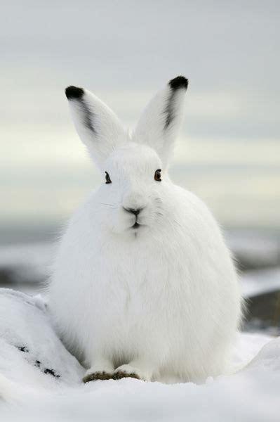 arctic hare lepus arcticus showing black ear tips