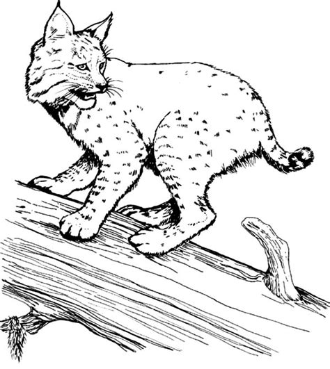 bobcat coloring page bobcat coloring sheet coloring pages