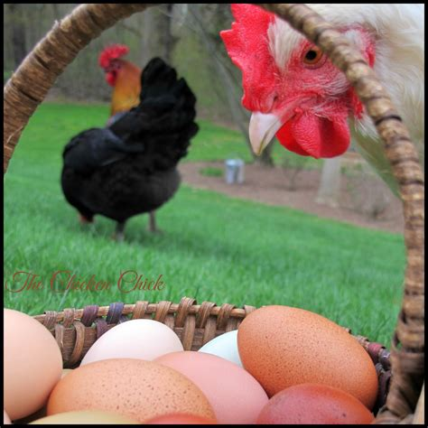 do you need a rooster to eggs 28 images how to raise chickens for farm fresh eggs modern