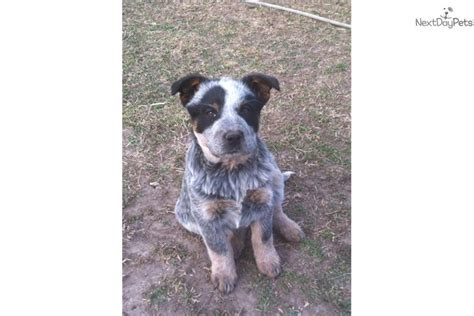 blue heeler puppies for sale in arkansas masked blue 2 australian cattle blue