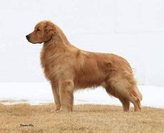 grooming golden retrievers for summer golden retriever before and after groomed in a tighter trim before and after