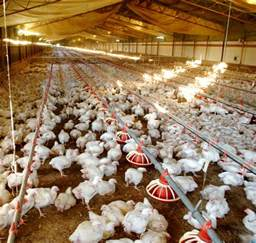 meat chicken farm sequence poultry hub