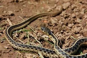 garden snake flickr photo