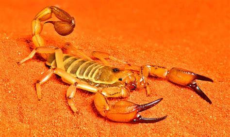imagenes de animales del desierto escorpiones top de animales m 225 s peligrosos del desierto