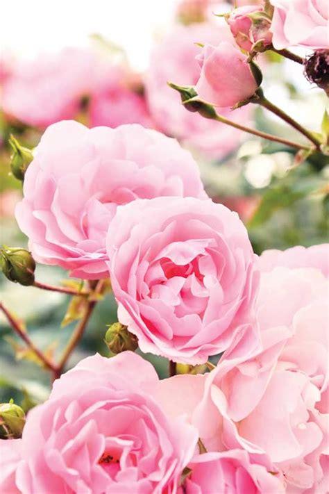 when to transplant roses organic gardening heirloom gardener