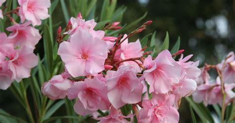 oleander standort garten oleander nerium oleander informationen tipps tricks