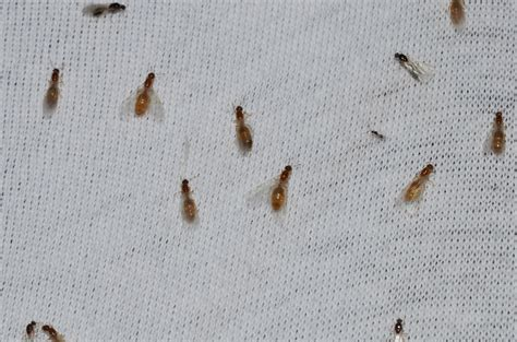 bugs in kitchen sink 34 small bugs in kitchen sink tiny brown bugs in kitchen