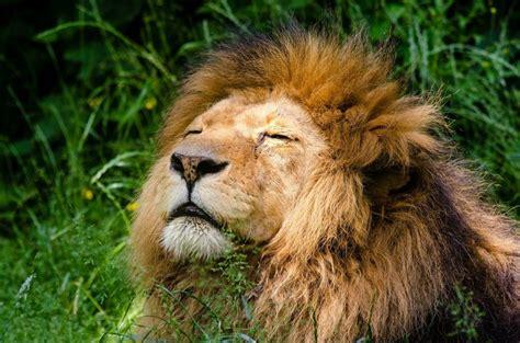 imagenes de leones salvajes image gallery leon africano