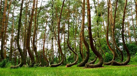 crooked forest poland poland s forgotten crooked forest what were they going to