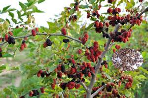 fruit tree seeds mulberry tree seeds for sale view