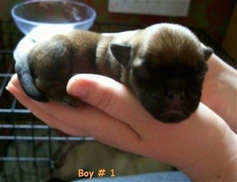 silky pug silky pug breed information and pictures