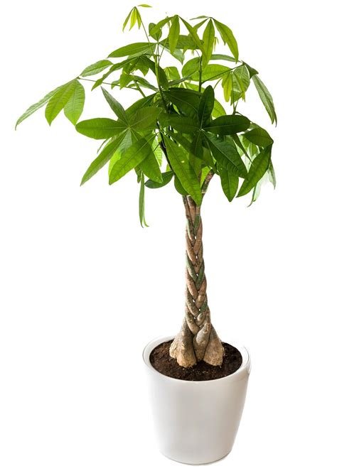 Artificial Tree Home Decor by We Tell You How To Braid A Money Tree In 6 Easy Steps