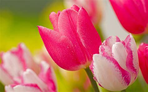 wallpaper bunga tulip pink tulips pink flowers wallpaper 1920x1200 32332