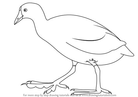 learn how to draw an american coot birds step by step