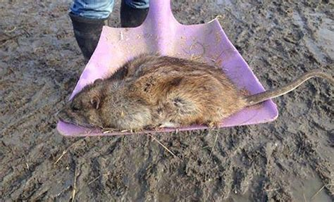 More giant rats 'the size of small cats' pictured by