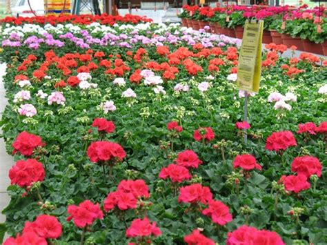 bedding plants bedding plants