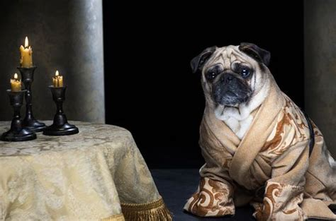 pug of thrones pugs dressed as of thrones characters four legged tyrion daenerys and jon snow