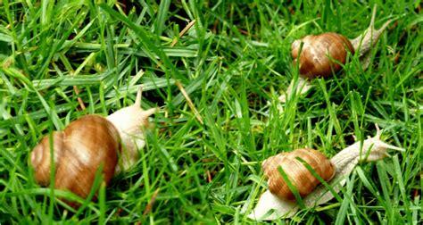 alimentazione lumache di terra come allevare chiocciole all aperto guida di elicicoltura