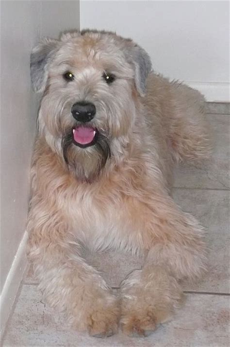 soft coated wheaten hair cut 17 best images about dog grooming styles on pinterest