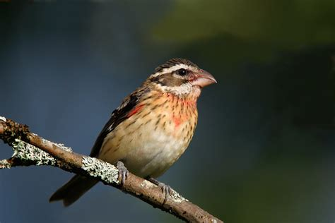 histories of american cardinals grosbeaks buntings towhees finches sparrows and allies order passeriformes family fringillidae literature cited and index classic reprint books breasted grosbeak audubon field guide