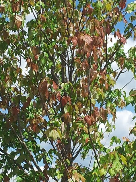 sunset maple tree root system sunset maple turning early ask an expert