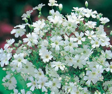 Bibit Benih Biji Mini Pak Choi White benih gypsophila monarch white 50 biji non retail