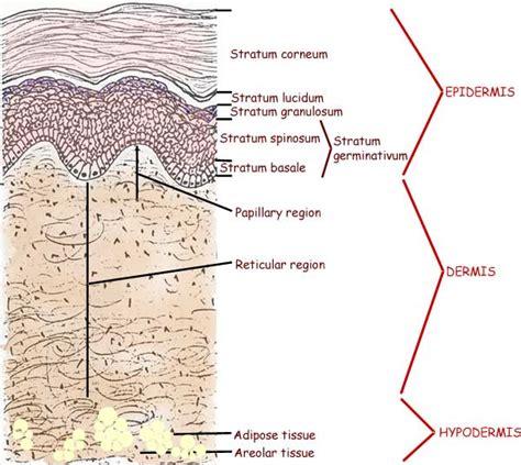 skin layers diagram skin anatomy 171 bestofbothworldsaz