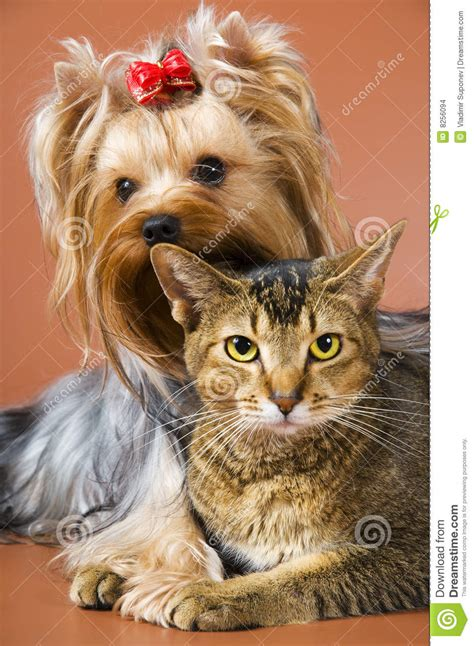 yorkie and cats of breed terrier and cat stock images image 8256094