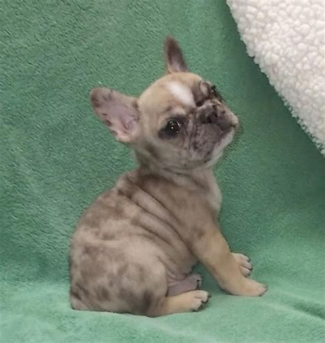 merle frenchie puppies for sale merle mexican frenchie puppies